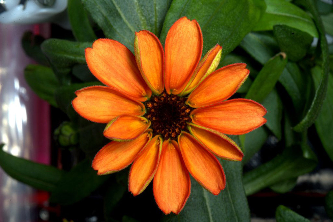 zinnias-success
