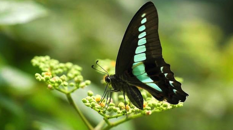 Common bluebottle